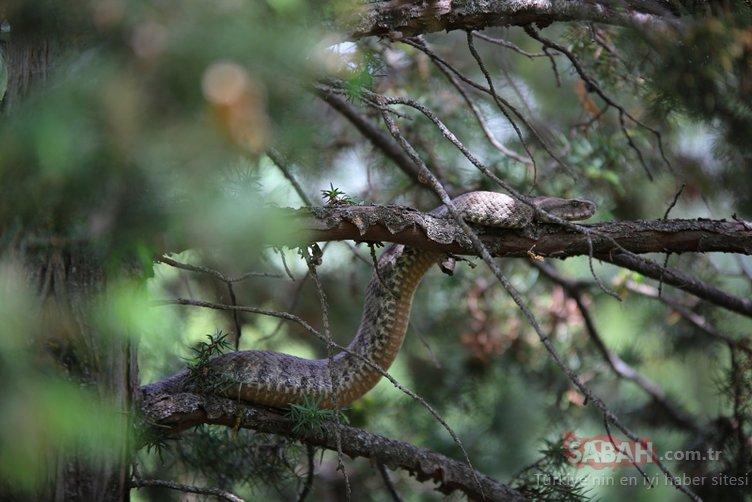 Türkiye'nin en zehirli yılanı Dersim'de görüldü